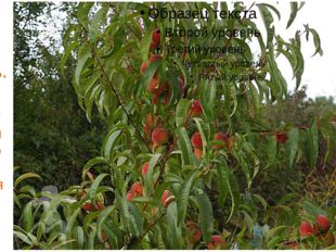 Осень. Не отстают от них и персиковые деревья