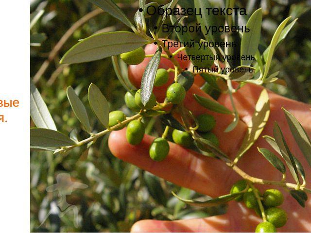 Осень. И оливковые деревья.