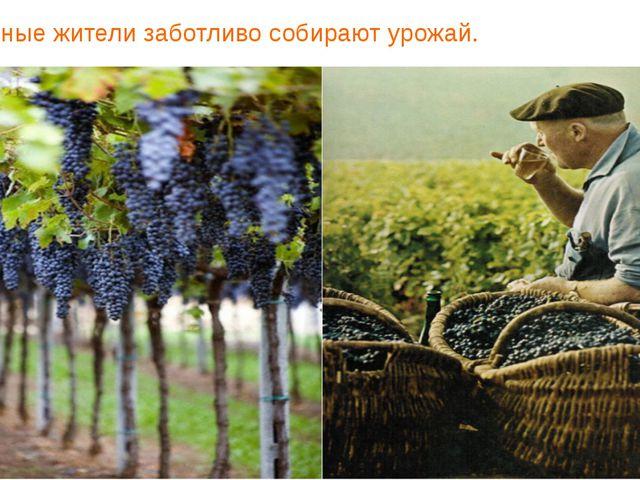 И местные жители заботливо собирают урожай.