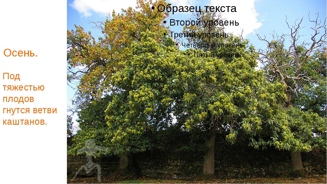 Осень. Под тяжестью плодов гнутся ветви каштанов.
