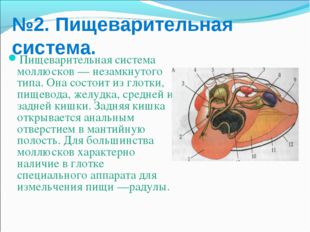 №2. Пищеварительная система. Пищеварительная система моллюсков — незамкнутого