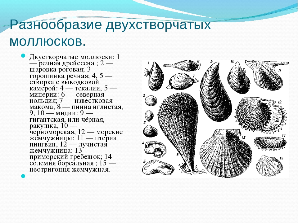 Разнообразие двухстворчатых моллюсков. Двустворчатые моллюски: 1 — речная дре...