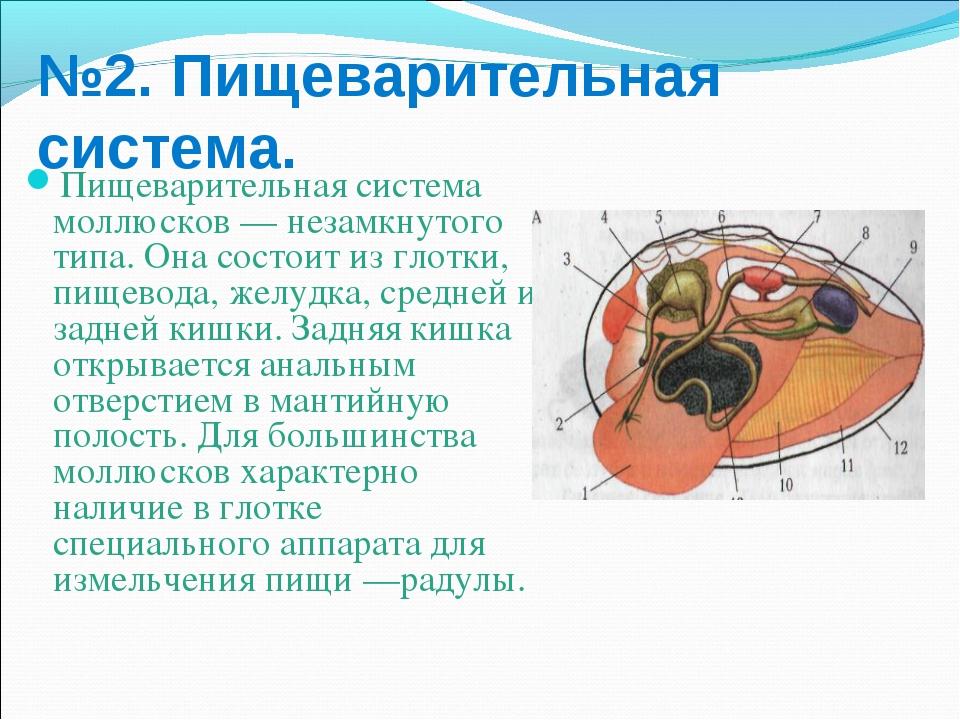 №2. Пищеварительная система. Пищеварительная система моллюсков — незамкнутого...