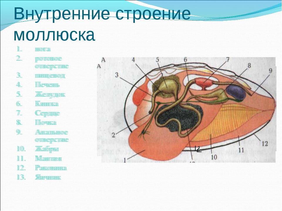 Внутренние строение моллюска нога ротовое отверстие пищевод Печень Желудок Ки...