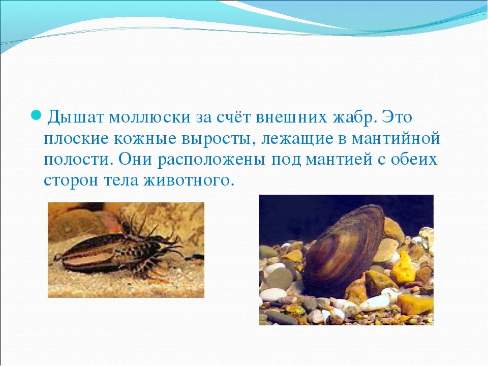 Дышат моллюски за счёт внешних жабр. Это плоские кожные выросты, лежащие в ма...