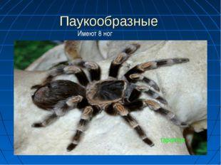 Паукообразные тарантул Имеют 8 ног