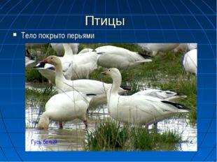 Птицы Тело покрыто перьями Гусь белый