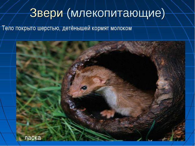 Звери (млекопитающие) Тело покрыто шерстью, детёнышей кормят молоком ласка