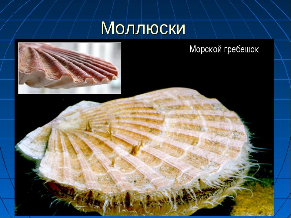 Моллюски Слайд 3 Морской гребешок