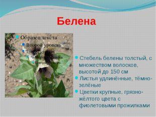 Белена Стебель белены толстый, с множеством волосков, высотой до 150 см Листь