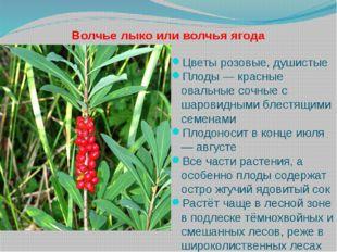 Волчье лыко или волчья ягода Цветы розовые, душистые Плоды — красные овальные