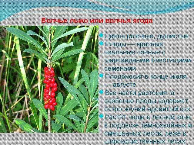 какого цвета ягоды волчьего лыка фото