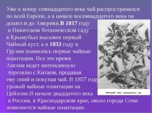 Уже к концу семнадцатого века чай распространился по всей Европе, а в начале