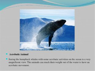 Acrobatic Animal Seeing the humpback whales with some acrobatic activities o