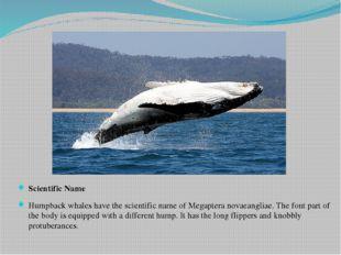 Scientific Name Humpback whales have the scientific name of Megaptera novaean