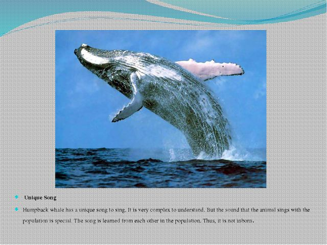 Unique Song Humpback whale has a unique song to sing. It is very complex to...