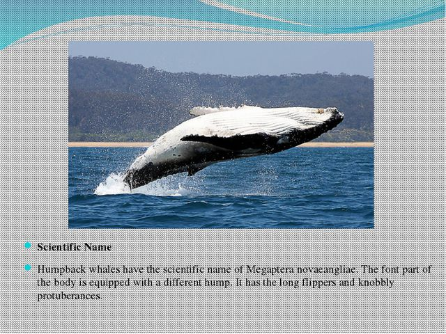 Scientific Name Humpback whales have the scientific name of Megaptera novaean...