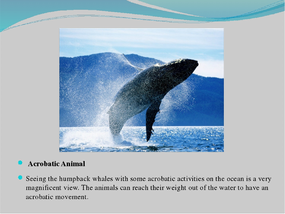 Acrobatic Animal Seeing the humpback whales with some acrobatic activities o...