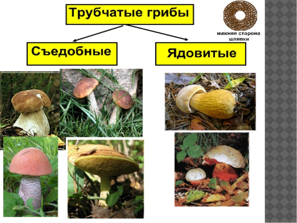 Белые грибы под гнетом рецепт с фото это силовой