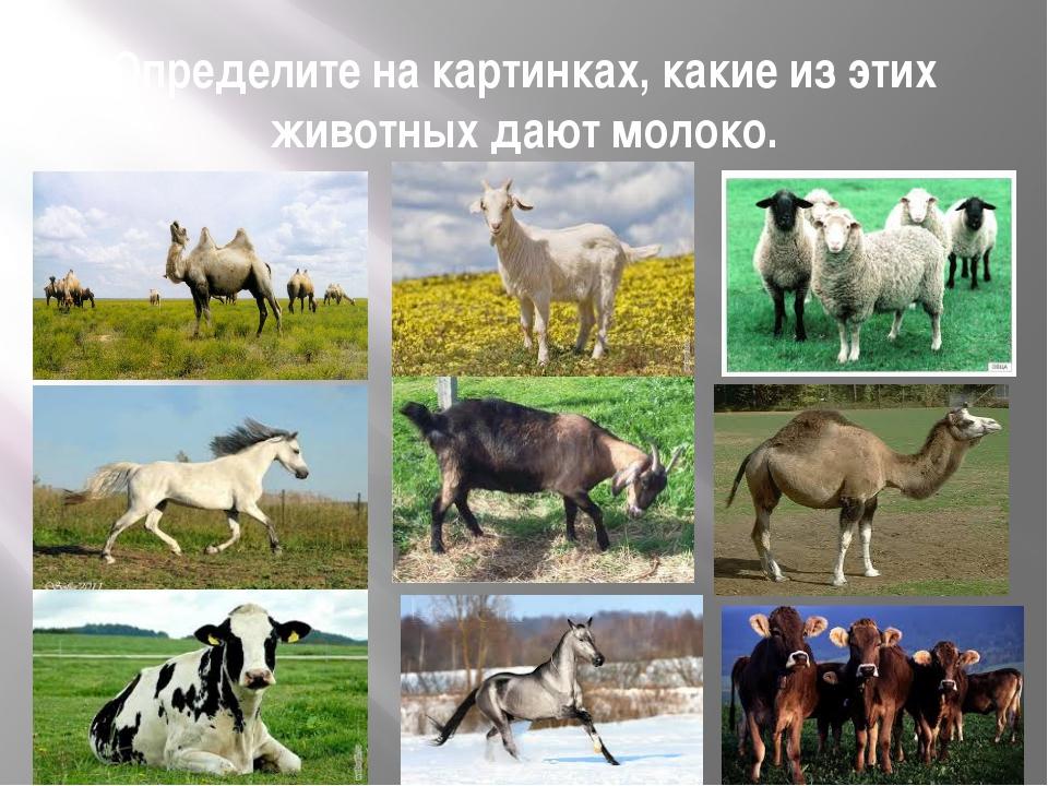 Определите на картинках, какие из этих животных дают молоко.