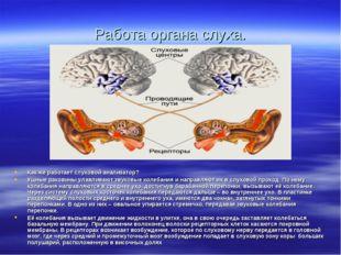 Работа органа слуха. Как же работает слуховой анализатор? Ушные раковины улав