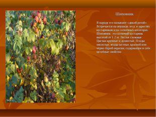 Шиповник В народе его называют «дикой розой». Встречается на опушках леса, в