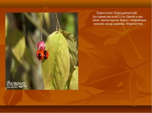 Бересклет бородавчатый Кустарник высотой 2-4 м. Цветёт в мае- июне, цветки к