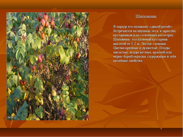 Шиповник В народе его называют «дикой розой». Встречается на опушках леса, в...
