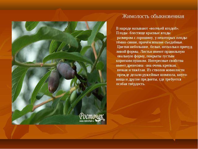 Жимолость обыкновенная В народе называют «волчьей ягодой». Плоды- блестяще к...