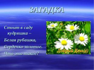 ЗАГАДКА Стоит в саду кудряшка – Белая рубашка, Сердечко золотое. Что это такое?