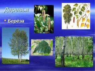 Деревья Берёза