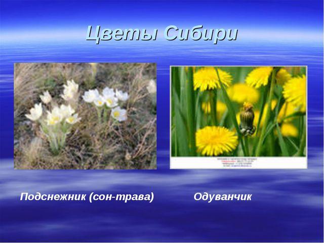 Цветы Сибири Подснежник (сон-трава) Одуванчик
