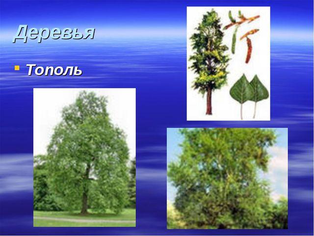 Деревья Тополь