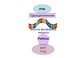 РНК Одноцепочечная Рибоза А=У Г=Ц остаток фосфорной кислоты