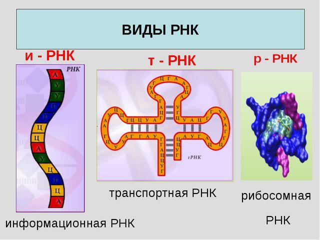 ВИДЫ РНК информационная РНК и - РНК т - РНК транспортная РНК р - РНК рибосомн...