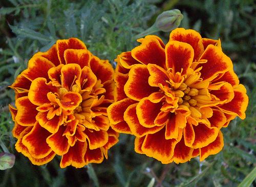 http://fullertonarboretumblog.com/wp-content/uploads/2014/03/marigolds.jpg
