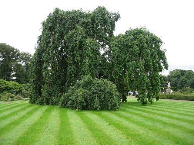 http://treepicturesonline.com/weepingashtree.jpg