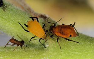 http://calle.hekla.nu/metazoa/thumbnails/tn_Hemiptera2.jpg