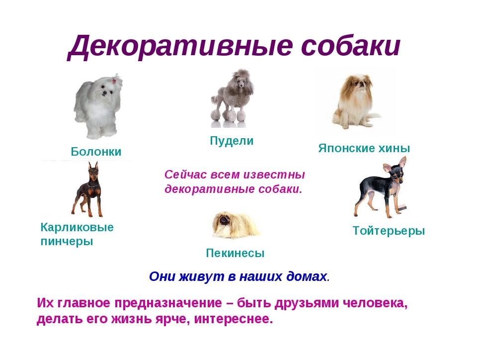 Декоративные собаки Сейчас всем известны декоративные собаки. Они живут в наш...