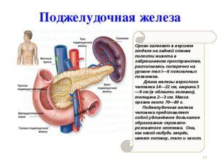 Орган залегает в верхнем отделе на задней стенке полости живота в забрюшинном