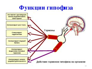 Функции гипофиза * Заставляет щитовидную железу вырабатывать свой гормон Конт