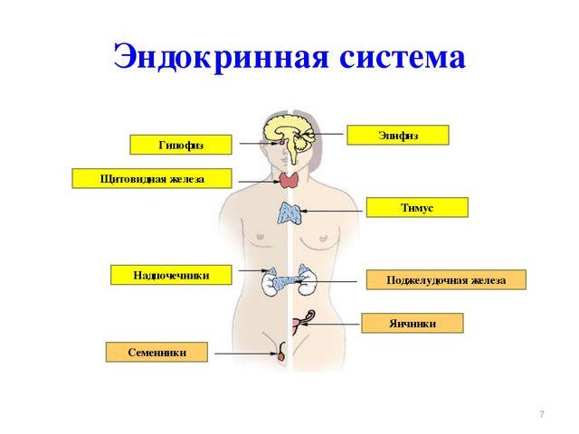 Эндокринная система * Гипофиз Щитовидная железа Тимус Эпифиз Надпочечники Сем...