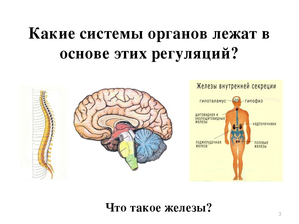 Какие системы органов лежат в основе этих регуляций? Что такое железы? *