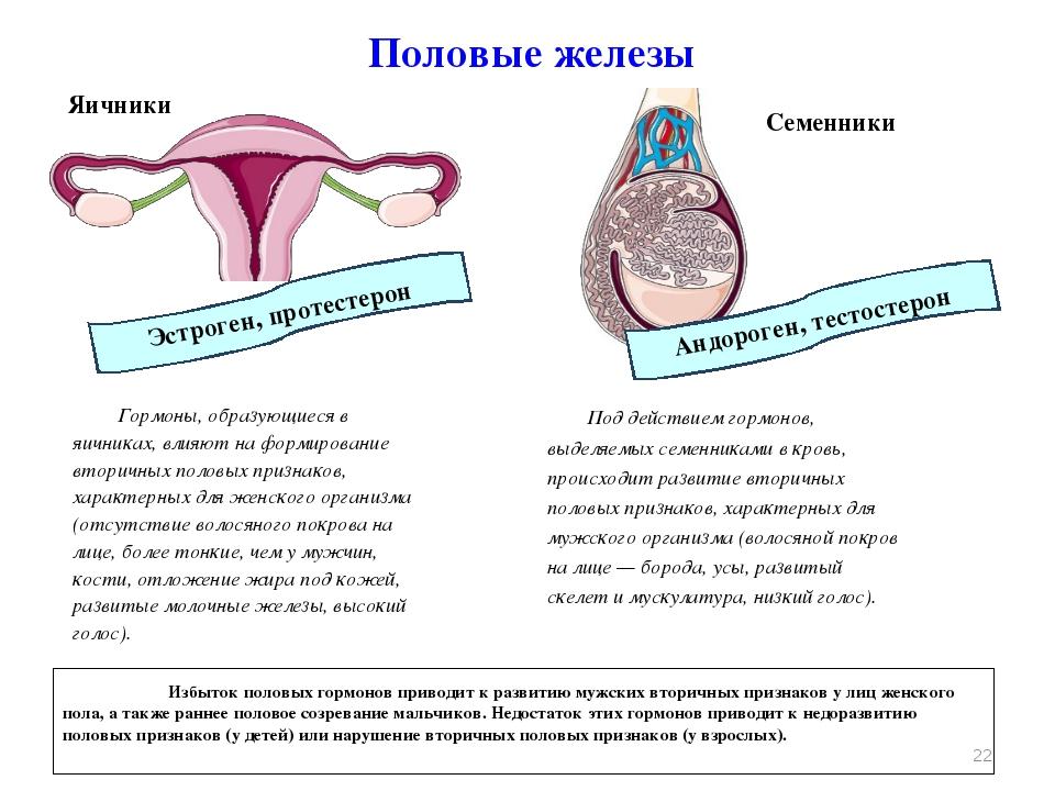Половые железы Яичники Гормоны, образующиеся в яичниках, влияют на формирован...