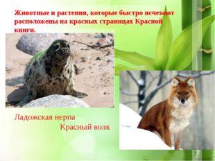 Ладожская нерпа Красный волк Животные и растения, которые быстро исчезают ра