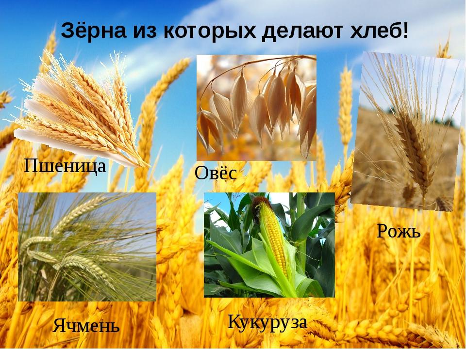 Зёрна из которых делают хлеб! Пшеница Рожь Овёс Ячмень Кукуруза