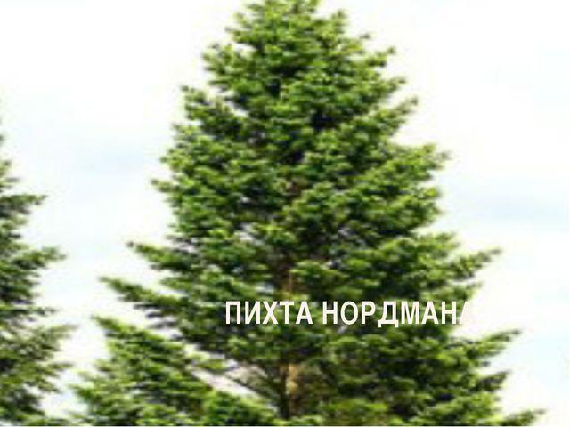 ПИХТА НОРДМАНА