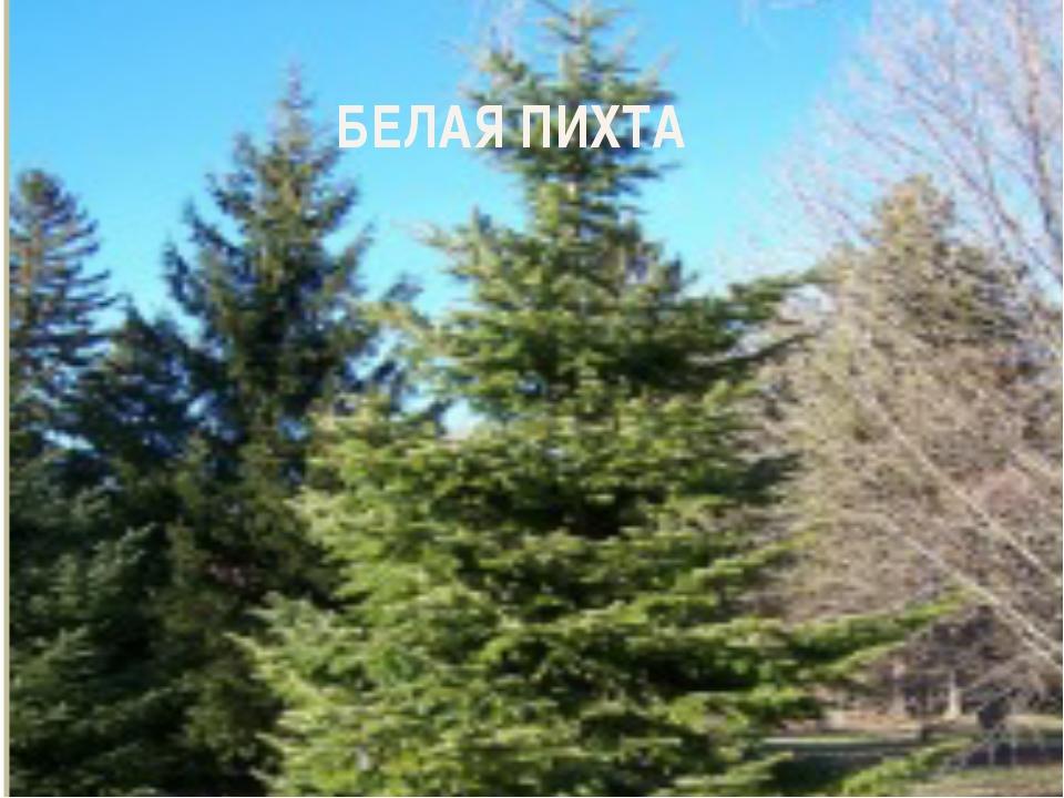 БЕЛАЯ ПИХТА