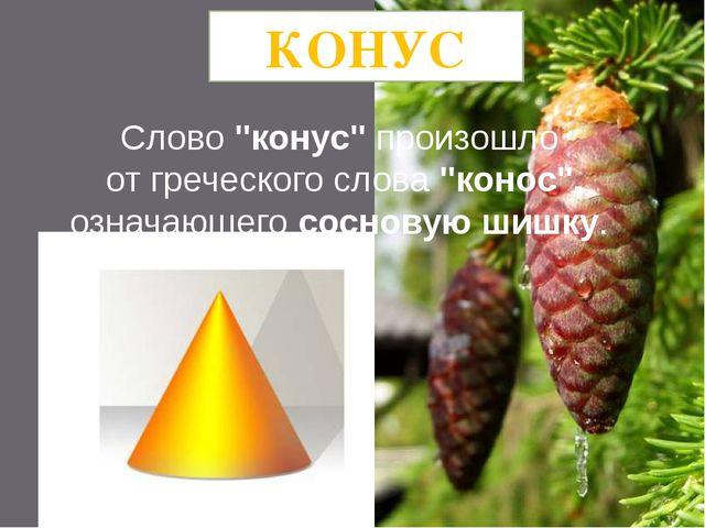 """Слово """"конус"""" произошло от греческого слова """"конос"""", означающего сосновую шиш..."""