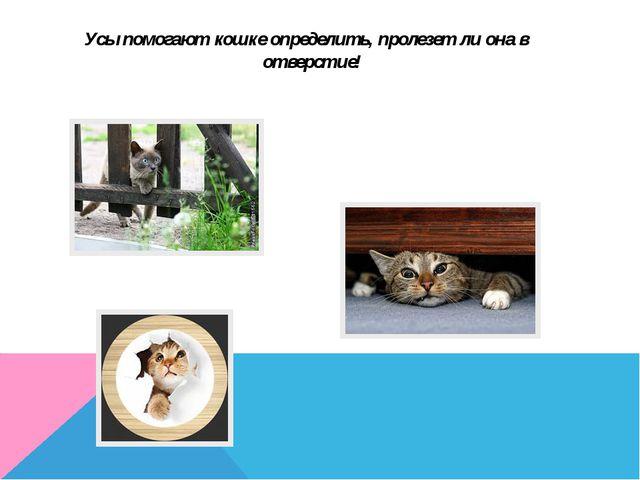 Усы помогают кошке определить, пролезет ли она в отверстие!